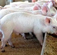 Piggery-Business-plan-in-Nigeria-1