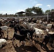 GOAT-FARMING-BUSINESS-PLAN-IN-NIGERIA