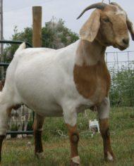 GOAT-FARMING-BUSINESS-PLAN-IN-NIGERIA-3-971×1024