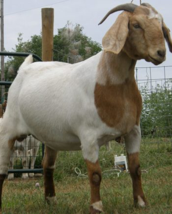GOAT-FARMING-BUSINESS-PLAN-IN-NIGERIA-3-971x1024