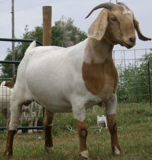 GOAT-FARMING-BUSINESS-PLAN-IN-NIGERIA-3-971x1024