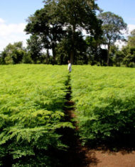 MORINGA-FARM-BUSINESS-PLAN-IN-NIGERIA-2