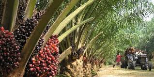 PALM OIL PRODUCTION AND PROCESSING BUSINESS PLAN IN NIGERIA 1