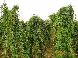 YAM PRODUCTION BUSINESS PLAN IN NIGERIA 3