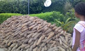 YAM PRODUCTION BUSINESS PLAN IN NIGERIA