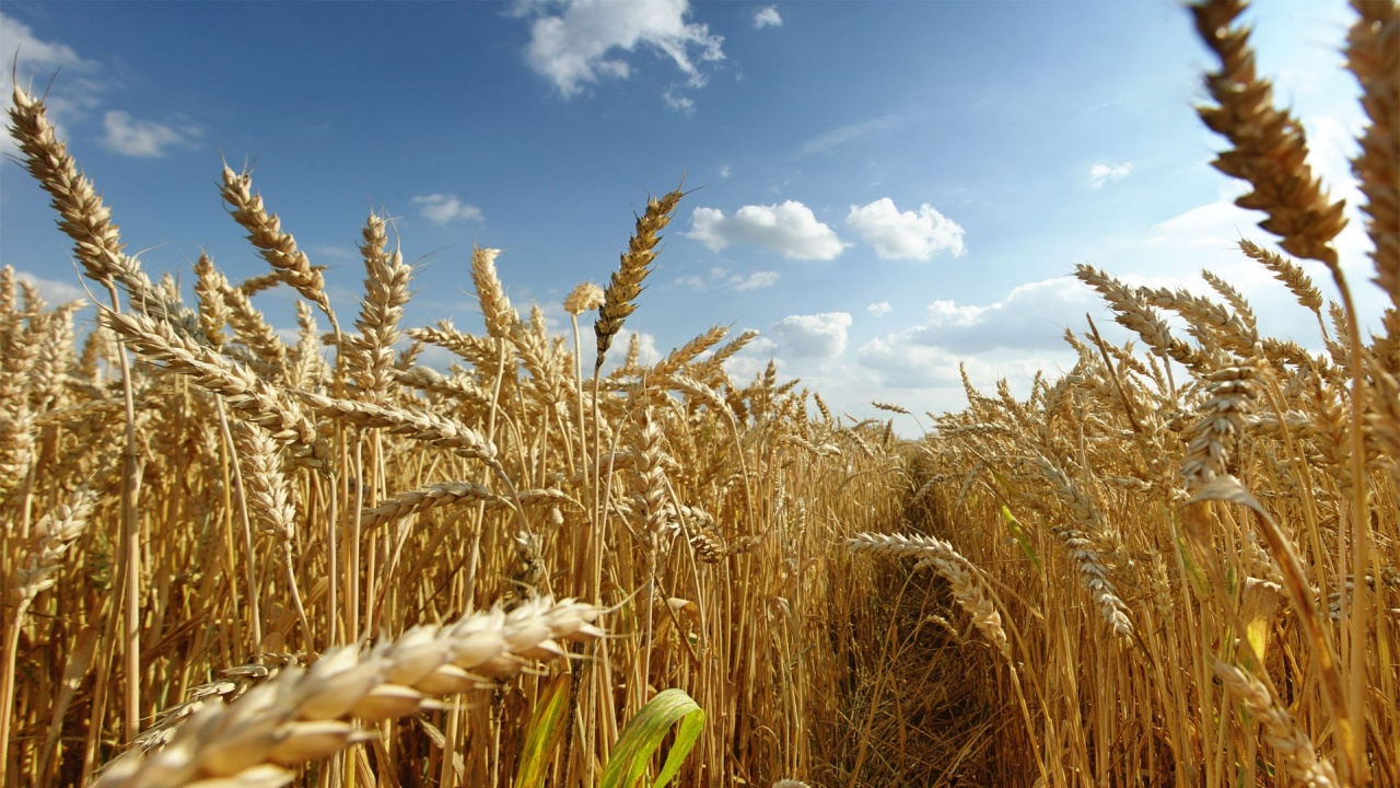 WHEAT FARMING BUSINESS PLAN IN NIGERIA