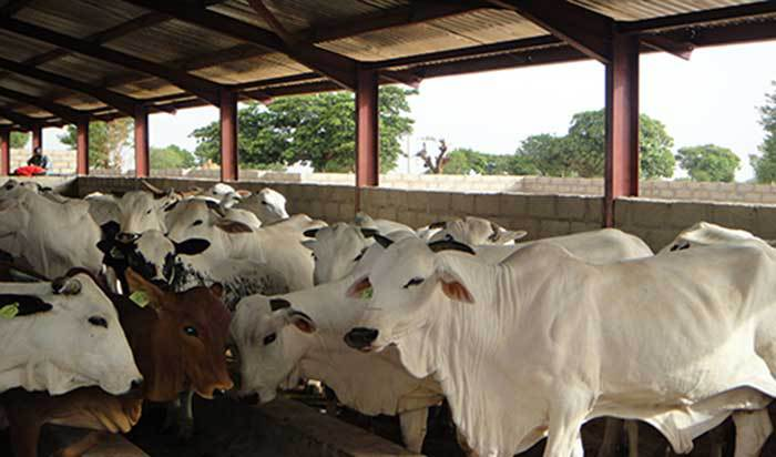 CATTLE REARING BUSINESS PLAN IN NIGERIA