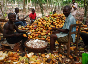 COCOA FARMING AND PROCESSING BUSINESS PLAN IN NIGERIA