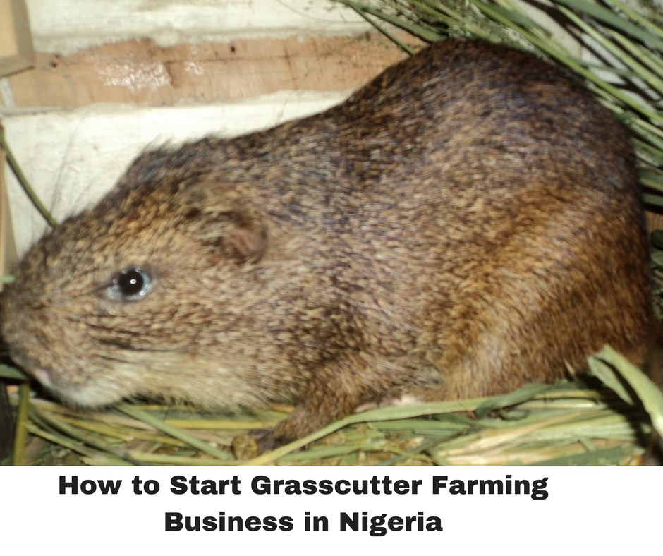 GRASSCUTTER FARMING BUSINESS PLAN IN NIGERIA