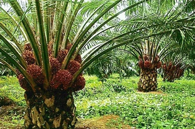 PALM KERNEL OIL EXTRACTION BUSINESS PLAN IN NIGERIA