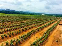 PINEAPPLE FARMING BUSINESS PLAN IN NIGERIA
