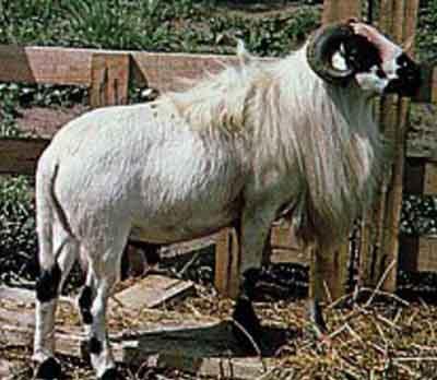 RAM/SHEEP REARING BUSINESS PLAN IN NIGERIA