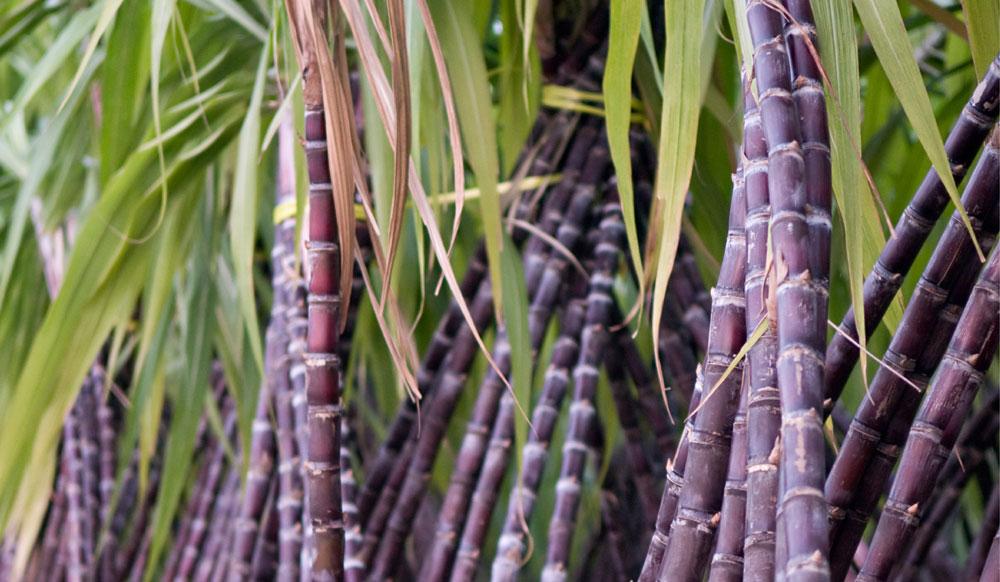 SUGARCANE FARMING BUSINESS PLAN IN NIGERIA