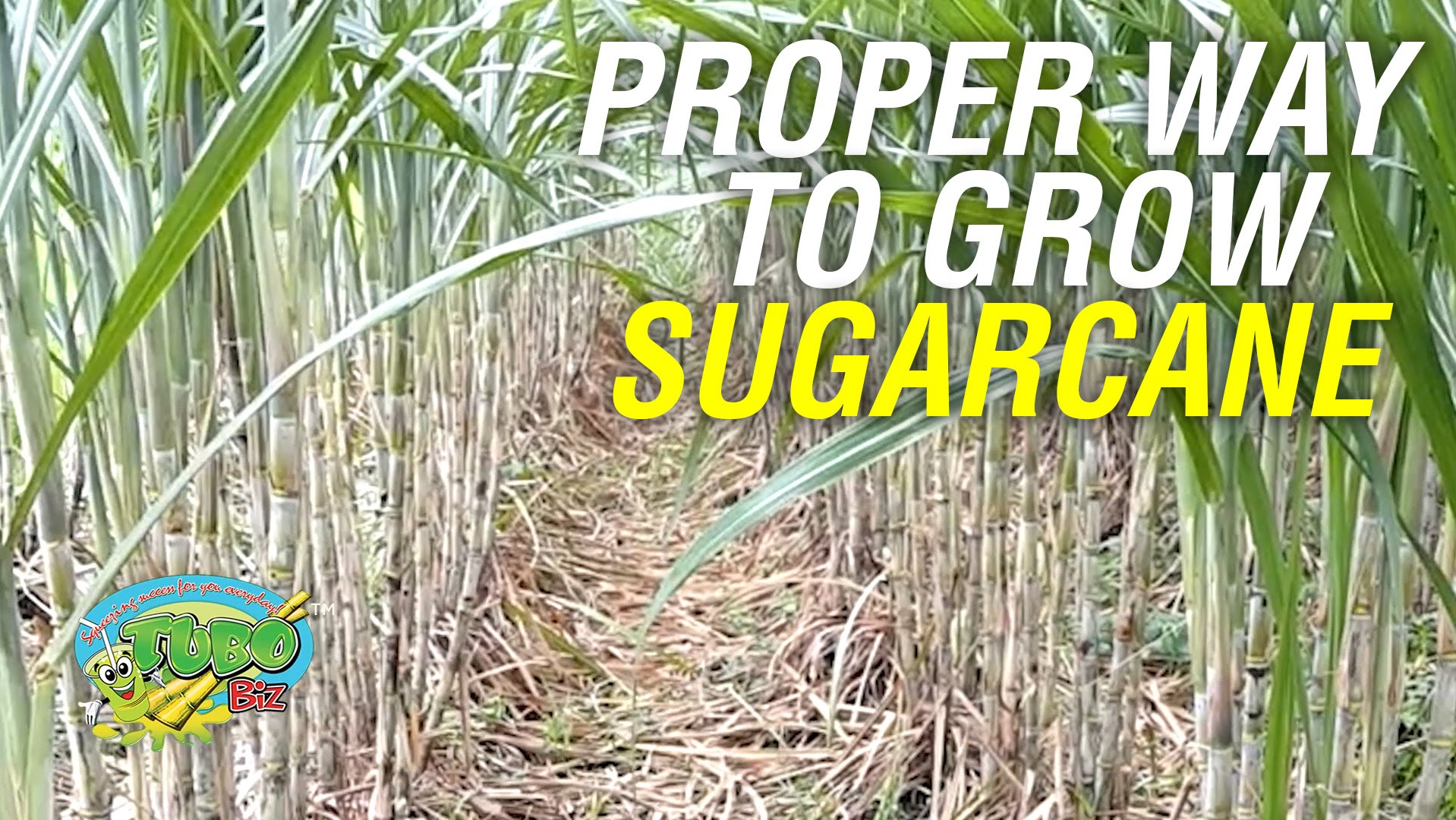 how long to grow sugar cane