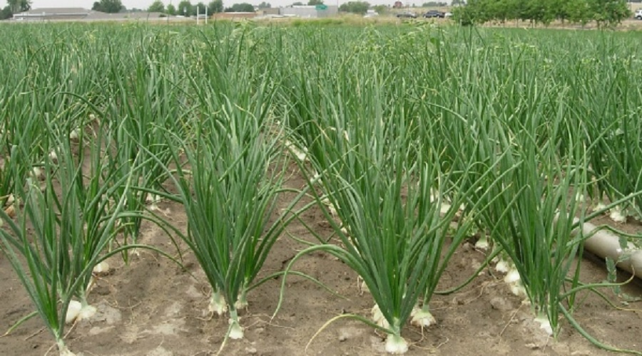 ONION FARMING BUSINESS PLAN IN NIGERIA