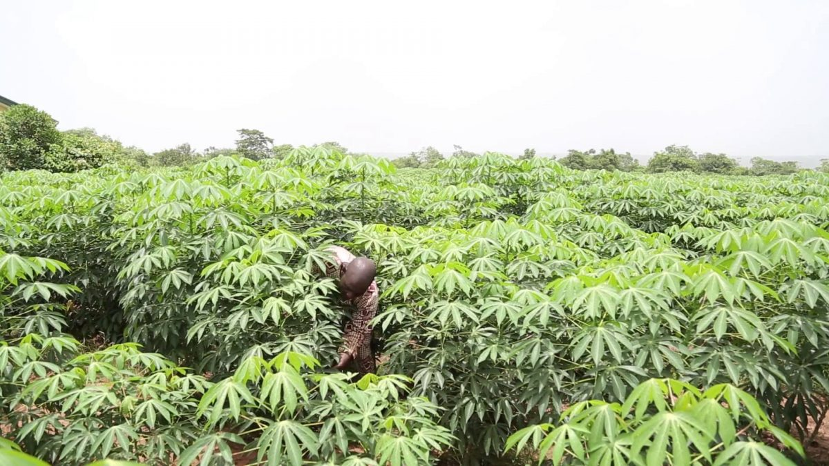 HOW TO START A PROFITABLE CASSAVA PROCESSING BUSINESS