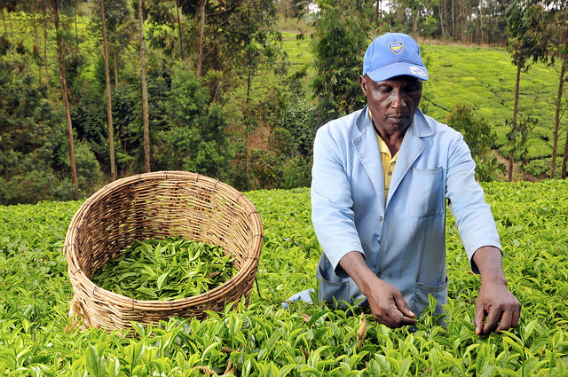 TEA FARMING AND PROCESSING BUSINESS PLAN IN NIGERIA