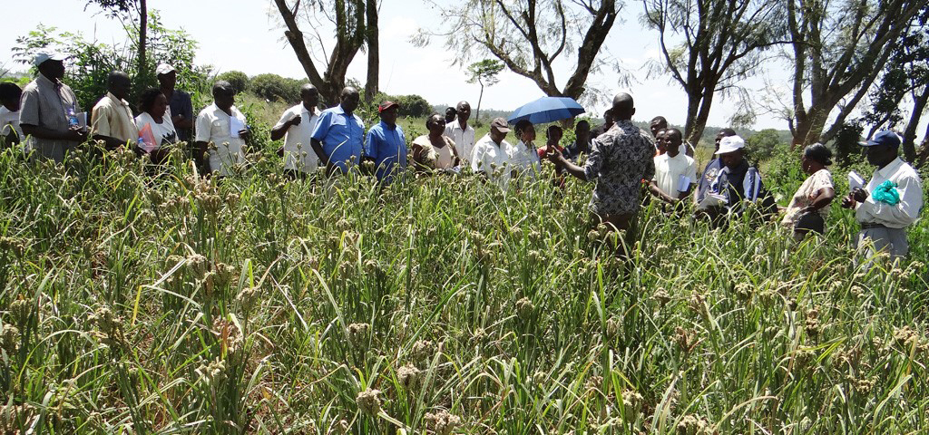 25 ways to profit from the Tamba (Finger Millet ) Value Chain in Nigeria