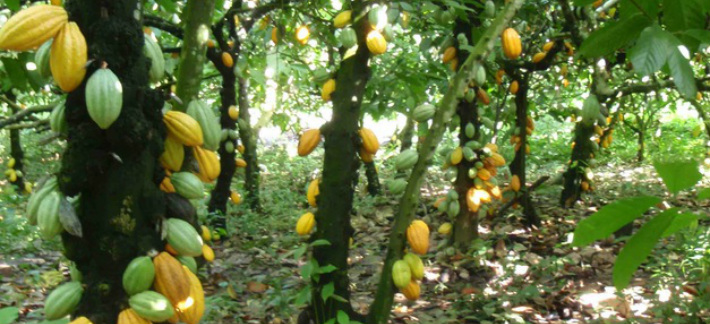 How To Start A Cocoa Farm Business in Nigeria