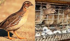 How To Set Up A Quail Farm Business in Nigeria