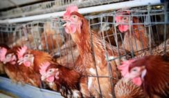 Executive Summary of Poultry Business Plan in Nigeria