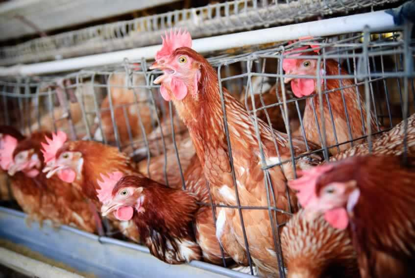 executive summary of poultry business plan in nigeria youth