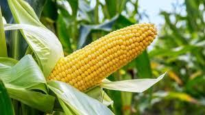 Executive-Summary-Maize-Farming-Business-Plan-in-Nigeria