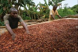 feasibility study on cocoa farming in nigeria