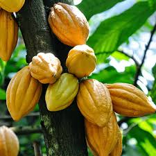 Executive Summary of Cocoa Farming Business Plan in Nigeria