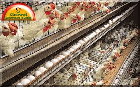 Executive Summary of Poultry Farming in Business in Nigeria.